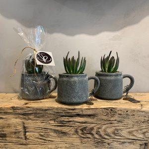 Mini Jug Succulent